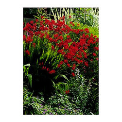 Crocosmia 'Lucifer' - I've planted Crocosmia (Crocosmia 'Lucifer', zones 6 to 9) in several spots and it has absolutely thrived. Plant in full sun or part shade, but be careful because it will spread quickly. One 4-inch pot is a great start. It has an upright growth habit with grassy foliage reminiscent of an iris.