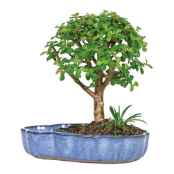 Brussel's Bonsai - Dwarf Jade in Water Pot Bonsai Tree - The dwarf jade bonsai is perfect for beginner bonsai gardeners. It thrives in a variety of lighting conditions and does not require constant watering. This potted version makes an especially thoughtful gift as the the ceramic container features a small reflecting pool when filled with water to complement the beauty of the plant.