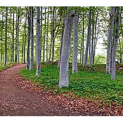 Magic Murals - Aspen Forrest Panorama Wall Mural -- Self-Adhesive Wallpaper by MagicMurals - Take a walk through this panoramic vista of a forest of Aspen trees, the path meanders and the rest of the grounds in the woods are covered with green ivy.