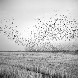 OAC Gallery - Birds in Field - Limited Edition Photography by Brandon Thibodeaux - A murmuration of birds swarms above a harvest field on Christmas Eve in Mound Bayou, Mississippi. This is from a series called, When Morning Comes, which is a reflection of life on the Mississippi Delta.