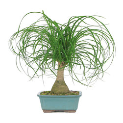 Brussel's Bonsai - Ponytail Palm Bonsai Tree - A low-maintenance ponytail palm makes the perfect housewarming gift. It's happy indoors in low light and doesn't require much watering or additional care. The showy greenery will brighten up any room without the requirement of a green thumb!