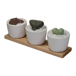 "MODgreen - Lithops, Pleiospilos and Argyroderma - 10"" Ceramic Duo Potted Cactus and Succule - Three beautiful mini succulents have been carefully selected and planted in the MODgreen Mini ceramic pot which is ideal for these plants and will bring in a big punch of style to any setting.  The mini collection is also great for using as Wedding/Party favors, and will have your guest remembering your event for months to come."