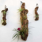 Grape Wood Tillandsia Garden - If you are really looking for a low key and low maintenance indoor plant, consider tillandsia. Also called air plants because they require no soil, yep you hear me no soil, to grow. The grape wood is also a beautiful sculptural element.