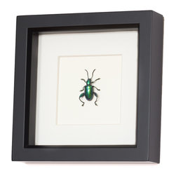 Bug Under Glass - Real Frog Beetle Framed Insect - Bring fascination to your decor with this stunning Frog beetle, professionally mounted by an entomologist. Frogs may use their legs to hop between lily pads, but this Sagra beetle species utilizes its long legs in combat. With a metallic green and blue glow to its exoskeleton, this farm-raised beautiful warrior will glow on your wall.