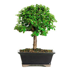 Brussel's Bonsai - Dwarf Jade  Bonsai Tree - Beginner bonsai lovers should always start with a potted jade. It grows well in a variety of conditions and can go without watering for long stretches. This charming little tree does especially well indoors and makes a perfect housewarming gift.