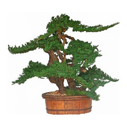 """36"""" Vintage Bonsai - This 36"""" Bonsai takes on a new look with a wooden vintage container.   Stands approximately 36"""" tall and 30"""" Wide.  Beautifully preserved juniper that is sculpted onto grapewood creates a one of a kind design."""