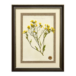 Botanicals Flowers C - Yellow Wildflower - Framed - A stunning framed display of a flattened botanical specimen with many different options available to suit your mood or d�cor. Each specimen is one of a kind and no two will be alike. For those who desire uniqueness in their wall hangings, the Botanicals Collection can be placed in a room alone or with many clustered together for wonderful way to bring your love of nature indoors.