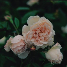 5 Favorites: A Rose for All Regions, Texas Edition by Jeanne Rostaing