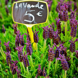 Lavande For Sale, Fine Art Photography Print, 8X12 - Lavande For Sale. Taken April 2012, Paris, France