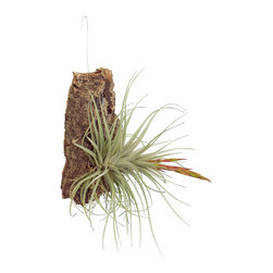 Cork-Mounted Tillandsias - While great on their own or collected in a dish, Tillandsias naturally grow on trees. These cork mounts are a design statement while remaining true to their botanical character. Tillandsias will range and may not look like plant shown, but will be the best available at time shipped. Bark mounts will also vary in size.