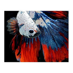 """Siamese Fighting Fish"" Floating Photo Print - Behold this mythical water-creature, a true wonder of nature! Also perfect if you're partial to a patriotic color scheme. 1/4 inch thick museum grade archival acrylic was used to face mount this beautiful floating frame. All materials used are 100% archival museum grade."