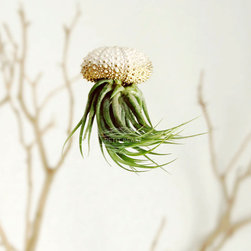Gold Ombré Jellyfish Air Plants by Petit Beast, Set of 3 - These unique air plants are housed in sea urchin shells to look like floating jellyfish.