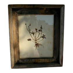 "Pressed Botanical #2 - Herbarium or botanical pressing framed in vintage barnwood.  Graceful little stems and small buds with the root system still intact.  Soft muted greens and grays on a faded cream paper.  Measures 11"" by 13"" overall framed."