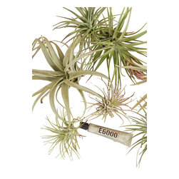 Tillandsia Mounting Kit - Create your own epiphytic garden with this collection of Tillandsias and glue - perfect for use with our cork panels, but also great with mossy branches, reclaimed wood or any other creative background. Kit includes an assortment of five Tillandsias and a tube of epoxy for mounting your tillys. (Tillandsias are a best selection of what is available at time of order and will change throughout the year)