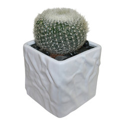 "MODgreen - Notocactus h. - 4"" Ceramic Potted Cactus and Succulents - The N. haselbergii comes from Brazil and it is known as 'Scarlet Cactus'. Water once a month and place under bright light. With this design MODgreen has put a new twist to the standard ceramic cube planter by giving them a corrugated texture that make these beautiful pots stand out above the rest."