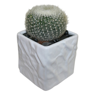 """MODgreen - Notocactus h. - 4"""" Ceramic Potted Cactus and Succulents - The N. haselbergii comes from Brazil and it is known as 'Scarlet Cactus'. Water once a month and place under bright light. With this design MODgreen has put a new twist to the standard ceramic cube planter by giving them a corrugated texture that make these beautiful pots stand out above the rest."""