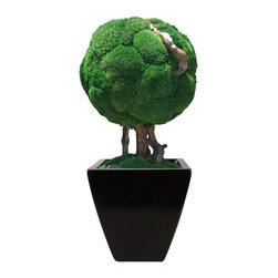 "Single Moss Ball Bonsai - This 30"" Double Moss Ball Bonsai tree has one 14"" moss ball infused with bonsai wood. Add the medium black azar to complete this zen look."