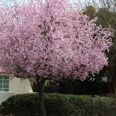 Beautiful and practical spring-flowering trees