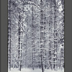 """Amanti Art - """"Pine Forest in the Snow, Yosemite National Park"""" Framed Print by Ansel Adams - No one captured the splendor of nature quite like the late, great Ansel Adams.  Here, a forest of snow-laden boughs makes a breathtaking black and white statement in your decor."""