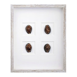 Morning Cowrie Shell Shadowbox - These morning cowrie shells present a distinctive beauty owing to their patterned rounded forms rimmed in ebony. The Morning Cowrie Shell Shadowbox artfully presents four shells, gifted by the sea, on an oyster linen that accentuates their unique coloration. The distressed white wood frame surrounding the glass completes the sophisticated tone of the background.