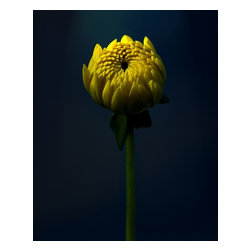 Yellow Rising, Limited Edition, Photograph - Yellow flower shot on black