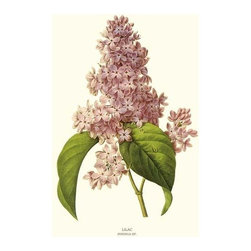 Lilac Flower Botanical Print - 11x14 Print - Vintage style botanical flower art print from turn of the 19th century illustrations.