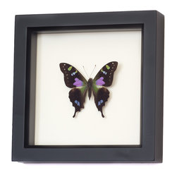 Bug Under Glass - Purple Mountain Swallowtail Framed Butterfly - A real Purple Mountain Swallowtail butterfly is forever preserved in its own shadowbox, adding beauty and color to a hallway, kitchen or living area. Cluster a group together to create your own walled migration, or let a single delicate butterfly bring spring inside year-round.