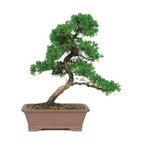 20 Year Shimpaku Juniper 20 Year Outdoor Bonsai Tree - Shimpaku Juniper Outdoor Bonsai Tree is a needled evergreen tolerant of a wide variety of conditions. The Shimpaku has attractive year round foliage and its dark green needles are soft to the touch. This outdoor Bonsai does best in full sun and can withstand chilly winter conditions. This Juniper which has been trained in the traditional bonsai style. This outdoor bonsai is very easy to care and is sure to be the center of many conversations.
