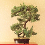 Preserved Juniper Bonsai - For an easy, sophisticated and very chinoiserie Christmas tree, hang a few chinoiserie ornaments from a real or preserved bonsai tree like this one.