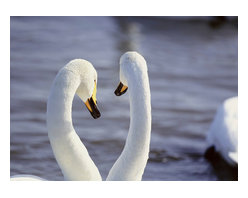 Custom Photo Factory - Two White Emotional Swans Canvas Wall Art - Two White Emotional Swans  Size: 20 Inches x 30 Inches . Ready to Hang on 1.5 Inch Thick Wooden Frame. 30 Day Money Back Guarantee. Made in America-Los Angeles, CA. High Quality, Archival Museum Grade Canvas. Will last 150 Plus Years Without Fading. High quality canvas art print using archival inks and museum grade canvas. Archival quality canvas print will last over 150 years without fading. Canvas reproduction comes in different sizes. Gallery-wrapped style: the entire print is wrapped around 1.5 inch thick wooden frame. We use the highest quality pine wood available. By purchasing this canvas art photo, you agree it's for personal use only and it's not for republication, re-transmission, reproduction or other use.