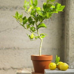 Organic Dwarf Meyer Lemon Tree - This dwarf lemon tree is a great idea for a few reasons. First, it's small so you can grow it indoors or on a patio. Second, it's a great colorful addition to you indoor/outdoor decor. And third, you will harvest full sized lemons - how cool!