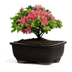 Flowering Azalea Bonsai Magenta Blooms - What better way is there to bring spring indoors than a tiny potted azalea? This specimen will be at home on an end table or coffee table.