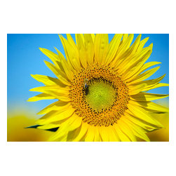 Custom Photo Factory - Sunflower, California, USA, (Helianthus Petiolaris) Canvas Wall Art - Sunflower, California, USA, (Helianthus Petiolaris)  Size: 20 Inches x 30 Inches . Ready to Hang on 1.5 Inch Thick Wooden Frame. 30 Day Money Back Guarantee. Made in America-Los Angeles, CA. High Quality, Archival Museum Grade Canvas. Will last 150 Plus Years Without Fading. High quality canvas art print using archival inks and museum grade canvas. Archival quality canvas print will last over 150 years without fading. Canvas reproduction comes in different sizes. Gallery-wrapped style: the entire print is wrapped around 1.5 inch thick wooden frame. We use the highest quality pine wood available. By purchasing this canvas art photo, you agree it's for personal use only and it's not for republication, re-transmission, reproduction or other use.