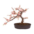 Nearly Natural - Cherry Blossom Bonsai Silk Tree - A truly beautiful specimen symbolizing the botanical beauty of Japan (and other parts of the world as well). Staying low to the ground at 15 inches, this Cherry Blossom Bonsai is perfect for those seeking elegance and tranquility. The varied pastel colors bring a sense of peace to all who behold its splendor, and since its maintenance free in its own decorative pot, you never have to worry about the painstaking upkeep needed with other bonsai.