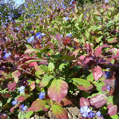 Plumbago (Ceratostigma plumbaginoides)