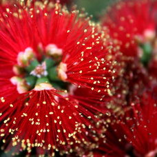 Great Design Plant: Dwarf Bottlebrush