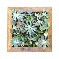 """Local Timber - Vertical Succulent Living Art DIY Kit - Handmade 12"""" x 12"""" succulent planter comes as a kit. Planter box and frame is made out of reclaimed wood and is sealed to hang indoors or out. The box is surrounded by a beautiful custom frame. Kit includes assembled 12"""" x 12"""" planter, wire mesh to hold in plants and soil, soil, moss and succulents (35 succulent cuttings). This kit is re-usable and can be replanted easily in a few years if the succulents grow very large (large succulents can be transplanted into the ground if desired)."""
