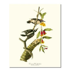 Downy Woodpecker Bird Print - 11x14 Print - Antique bird prints from turn of the 19th century illustrations by reknowned artist James Audubon, Louis Agassiz Fuertes, John Gould and others. Available in multiple sizes.