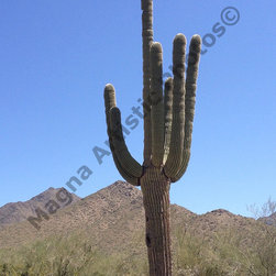 Desert Cacti 8 x 10 - Photograph captured in the Sonoran Desert AZ while on a hike.  This Cacti is extremely tall and stands proud if you look closely there are two hold on the side of it which is the home to a small bird of some type.