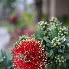 Great Design Plant: Dwarf Bottlebrush