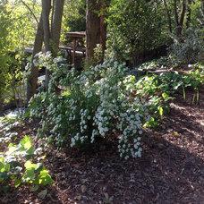 Bridal veil shrub in full bloom