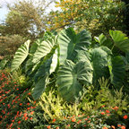 Elephant Ears - Give your garden a tropical look this year with this large Elephant Ear. Known for its giant green leaves and the baseball-sized bulbs, Elephant Ears are perfect for any sunny garden. When looking at the leaves, its easy to see where this plant received its name: each leaf can reach 2-3 feet in length and 1-2 feet in width. You will truly have the neighbors talking when this guy reaches his full height of six feet in your landscape this year!