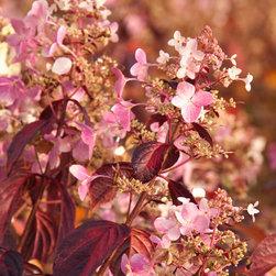 Angel's Blush® Hydrangea - Photo By Doreen Wynja © EyeoftheLady.com