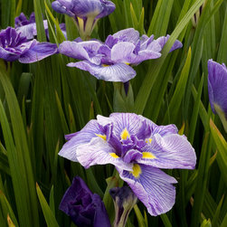 Butterflies In Flight Japanese Iris - Photo By Doreen Wynja © EyeoftheLady.com