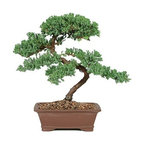 7-year Green Mound Juniper Outdoor Bonsai Tree - The 7-year Green Mound Juniper Outdoor Bonsai Tree is a great choice if you are new to the Bonsai. It features a textured foliage that is easy to maintain. This 7 year-old Bonsai trees stand 12-16 inches tall and come planted in a handsome rock container. The natural movement of this tree's trunk and branches capture the essence of bonsai, making Green Mound the most used juniper variety. This tree can make a great addition to an outdoor garden.