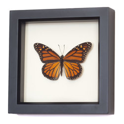 Real Framed Monarch Butterfly - A real framed monarch butterfly framed with UV blocking glass and archival mounting materials.  Professionally mounted and preserved by entomologist Kevin Clarke.   Comes with natural history info about ethical origin (farm raised)  specimen, gift box and instructions on how to last a lifetime.