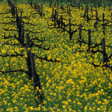 Detail of Pruned Vines and Mustard Blossoms, Napa Valley, USA Photographic Print