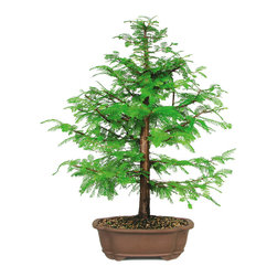 Brussel's Bonsai - Dawn Redwood Bonsai Tree, Large - When you can't get to the redwoods for a hike, enjoy the beauty of the ancient forests with a miniature potted version. Keep this tiny tree outdoors and water gently so as not to disturb its topsoil. The feather-like branches will add texture and elegance to any patio garden.