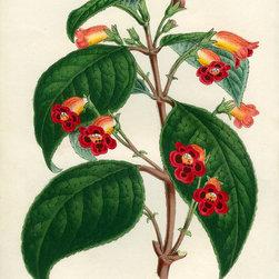 Kohleria of Central America Print - Native to forests and streams of Central and South America.