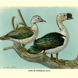 Buyenlarge - Comb or Knob-Billed Ducks 12x18 Giclee on canvas - Series: Birds - Ducks